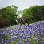 Dolce Gambino Enjoys the Texas Bluebonnets